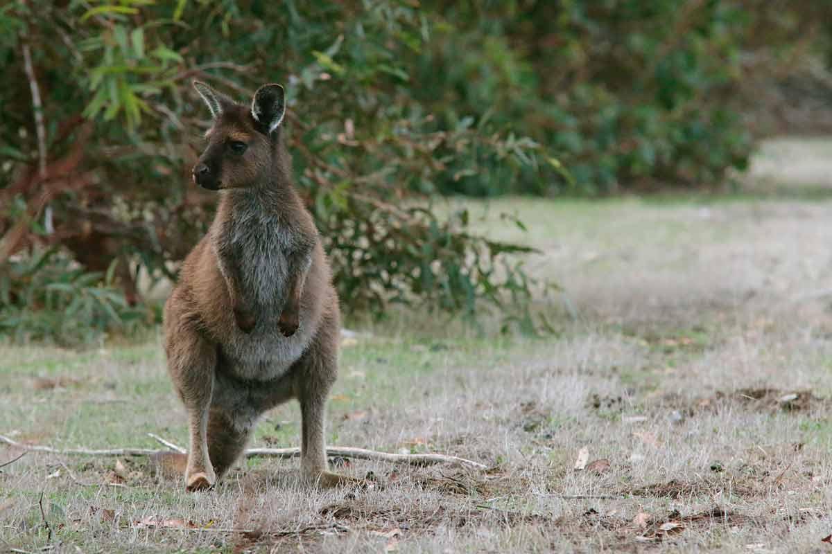 Kangaroo Island en austrsalia
